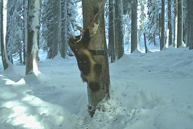 Elusive wolverine spotted on idaho camera for Idaho dept of fish and game