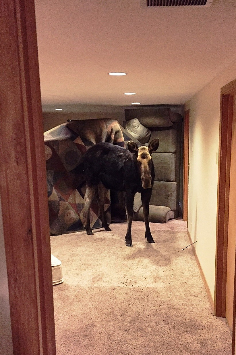 Moose falls into wood river valley basement for Idaho department of fish and game