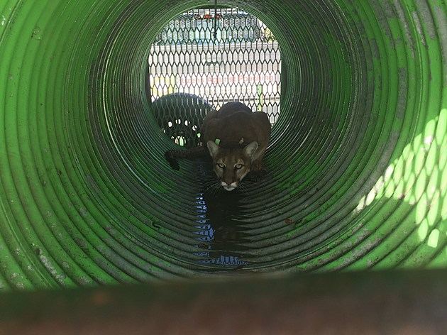 A female mountain lion was captured along with her three kittens in the Johnny Creek area of Pocatello and later released in a more remote habitat.  Photo courtesy Idaho Department of Fish and Game