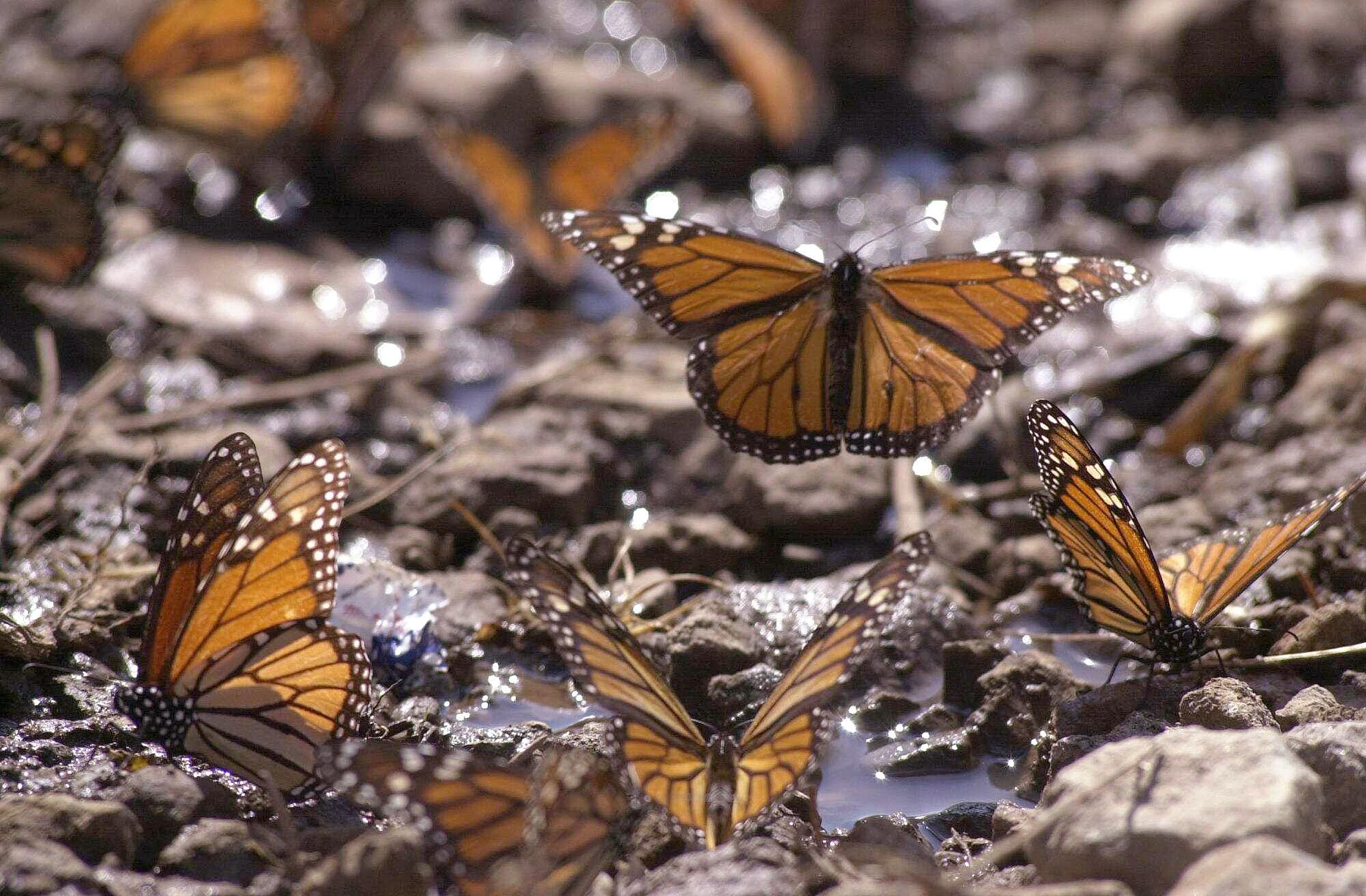 Monarch Butterflies Return to Mexico