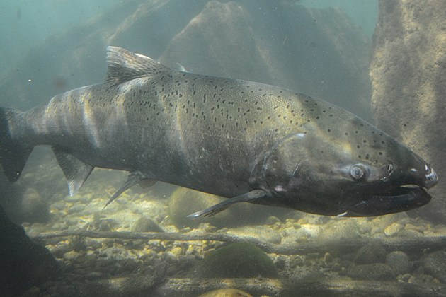 Fish eye view of chinook salmon in idaho for Idaho dept of fish and game