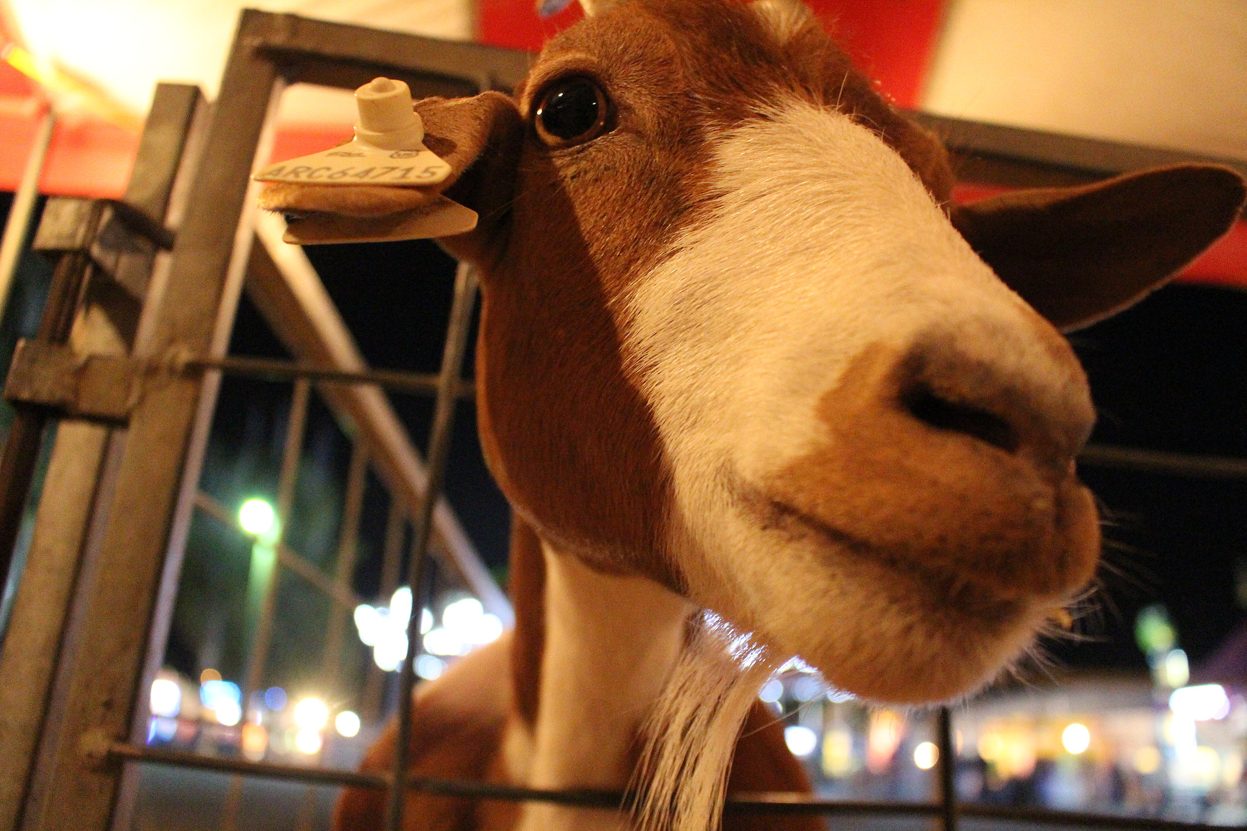 A goat checks greets a camera at the Animal Specialties Petting Farm on Wednesday night at the Twin Falls County Fair (Photo by Andrew Weeks)